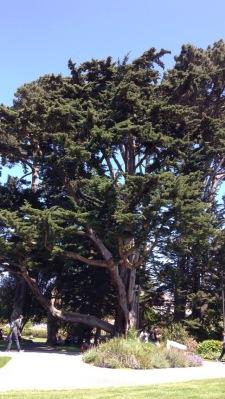 SFSU cypress tree.
